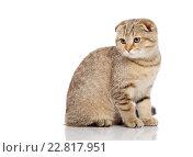 Купить «Scottish fold cat», фото № 22817951, снято 21 октября 2015 г. (c) Andrejs Pidjass / Фотобанк Лори