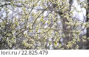 Купить «Цветущая ива ранней весной», видеоролик № 22825479, снято 19 апреля 2016 г. (c) Володина Ольга / Фотобанк Лори
