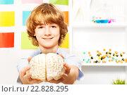 Купить «Мальчик с моделью мозга в руках», фото № 22828295, снято 23 февраля 2016 г. (c) Сергей Новиков / Фотобанк Лори