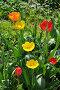 Тюльпаны на клумбе в саду, эксклюзивное фото № 22832423, снято 4 мая 2016 г. (c) Юрий Морозов / Фотобанк Лори
