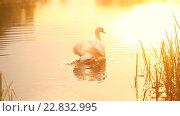 Купить «Лебедь плывет, золотой свет», видеоролик № 22832995, снято 12 мая 2016 г. (c) Mikhail Davidovich / Фотобанк Лори