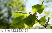 Купить «Яркие пышные листья на деревьях в мае», видеоролик № 22833151, снято 9 мая 2016 г. (c) Володина Ольга / Фотобанк Лори