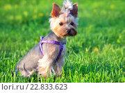 Купить «Собака породы йоркширский терьер сидит в траве», фото № 22833623, снято 13 июня 2015 г. (c) Татьяна Белова / Фотобанк Лори