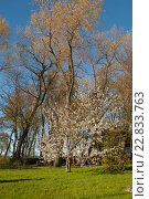 Купить «Цветущая яблоня в парке», эксклюзивное фото № 22833763, снято 6 мая 2016 г. (c) Svet / Фотобанк Лори