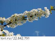 Купить «Цветущая ветка черешни на фоне синего неба», фото № 22842791, снято 7 мая 2016 г. (c) Бабкина Марина / Фотобанк Лори
