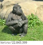 Купить «Западная равнинная горилла (Gorilla gorilla gorilla). Подросток», фото № 22843399, снято 1 мая 2016 г. (c) Валерия Попова / Фотобанк Лори