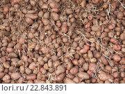 Купить «Куча проросшего картофеля с ростками для весенней посадки», фото № 22843891, снято 30 апреля 2016 г. (c) Евгений Майнагашев / Фотобанк Лори