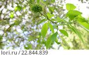 Купить «Молодые листья и серёжки ивы весной», видеоролик № 22844839, снято 11 мая 2016 г. (c) Володина Ольга / Фотобанк Лори