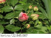 Роза. Стоковое фото, фотограф Irina Ugorova / Фотобанк Лори
