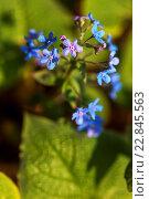 Купить «Brunnera macrophylla, Siberian bugloss, great forget-me-not, Heartleaf.», фото № 22845563, снято 31 марта 2016 г. (c) age Fotostock / Фотобанк Лори