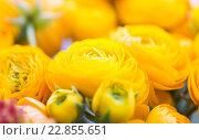 Купить «close up of beautiful yellow ranunculus flowers», фото № 22855651, снято 27 марта 2016 г. (c) Syda Productions / Фотобанк Лори