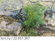 Маленькая ель на фоне большого камня. Стоковое фото, фотограф Олег Вдовин / Фотобанк Лори