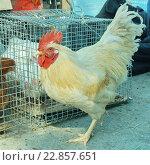 Петух на птичьем рынке. Стоковое фото, фотограф Анастасия Гамова / Фотобанк Лори