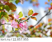 Купить «Яблоневый цвет весенним погожим днем», фото № 22857955, снято 14 мая 2016 г. (c) Fro / Фотобанк Лори