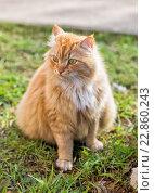 Купить «Рыжий пушистый кот на траве летом», фото № 22860243, снято 1 мая 2016 г. (c) Юлия Бабкина / Фотобанк Лори