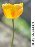 Тюльпан. Стоковое фото, фотограф Айрат Галлямов / Фотобанк Лори