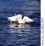 Гуси на озере. Стоковое фото, фотограф Игорь Аникин / Фотобанк Лори