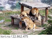 Львы в зоопарке. Стоковое фото, фотограф Игорь Аникин / Фотобанк Лори