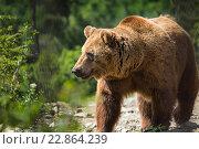 Бурый медведь в лесу. Стоковое фото, фотограф Анатолий Типляшин / Фотобанк Лори
