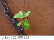 Купить «Молодой росток винограда на старой лозе на фоне коричневой каменной стены», фото № 22900883, снято 8 мая 2016 г. (c) Елена Александрова / Фотобанк Лори