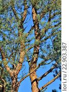 Купить «Сосновый бор в солнечный день», фото № 22903387, снято 21 января 2014 г. (c) Сергей Трофименко / Фотобанк Лори