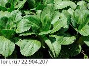 Brassica rapa ssp. pekinensis, Pak Choi, Chinese cabbage. Стоковое фото, фотограф Zoonar/P.Himmelhuber / age Fotostock / Фотобанк Лори