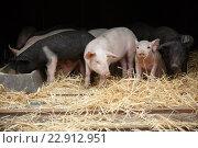 Berlin, Germany, piglets in the Inaugural am Potsdamer Platz. Стоковое фото, агентство Caro Photoagency / Фотобанк Лори
