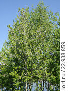 Купить «Тополиный пух на дереве», эксклюзивное фото № 22938859, снято 9 мая 2016 г. (c) Юрий Морозов / Фотобанк Лори