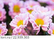 Купить «close up of beautiful pink chrysanthemum flowers», фото № 22939303, снято 27 марта 2016 г. (c) Syda Productions / Фотобанк Лори