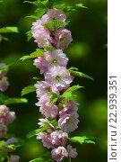 Веточка миндаля махрового (лат. Prunus triloba) Стоковое фото, фотограф lana1501 / Фотобанк Лори