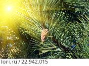 Купить «Сосна горная (лат. Pinus mugo). Хвоя и почки крупным планом», фото № 22942015, снято 4 апреля 2015 г. (c) Сергей Трофименко / Фотобанк Лори