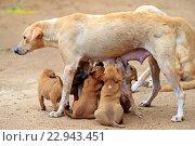 Купить «Myanmar, Mandalay State, Bagan, dog, mother milking the babies.», фото № 22943451, снято 3 декабря 2015 г. (c) age Fotostock / Фотобанк Лори