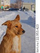 Рыжая беспородная собака, эксклюзивное фото № 22953423, снято 26 января 2016 г. (c) Галина Шорикова / Фотобанк Лори