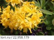 Купить «Цветение рододендрона желтого», эксклюзивное фото № 22958179, снято 19 мая 2016 г. (c) Ната Антонова / Фотобанк Лори