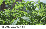 Полив помидоров. Стоковое видео, видеограф Юлия Машкова / Фотобанк Лори