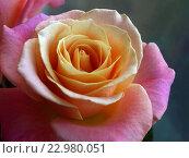 Купить «Чайная роза на синезелёном фоне», фото № 22980051, снято 23 мая 2016 г. (c) Самойлова Екатерина / Фотобанк Лори