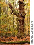 Купить «Urwald Sababurg in Hessen», фото № 22981571, снято 15 июля 2020 г. (c) age Fotostock / Фотобанк Лори