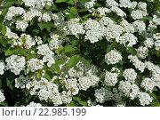Купить «Цветущая Спирея Вангутта», фото № 22985199, снято 2 мая 2016 г. (c) Елена Александрова / Фотобанк Лори