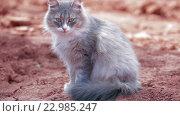 Купить «Серая пушистая кошка», видеоролик № 22985247, снято 12 мая 2016 г. (c) Илья Насакин / Фотобанк Лори