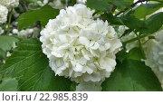 Купить «Белые шары декоративной калины бульденеж в зеленой листве, весеннее цветение», фото № 22985839, снято 23 апреля 2016 г. (c) DiS / Фотобанк Лори
