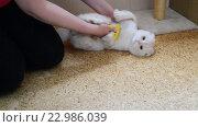 Купить «Женщина расчёсывает белую кошку шотландской породы», видеоролик № 22986039, снято 19 мая 2016 г. (c) Володина Ольга / Фотобанк Лори