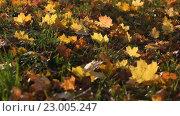 Осенние листья. Стоковое видео, видеограф Пётр Мусатов / Фотобанк Лори