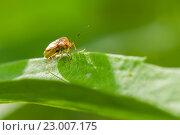 Купить «Красный жук с усами ползёт по траве на фоне зелени», эксклюзивное фото № 23007175, снято 25 мая 2016 г. (c) Игорь Низов / Фотобанк Лори