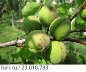 Ветка абрикосовая с плодами. Стоковое фото, фотограф IGOR KVASIUK / Фотобанк Лори