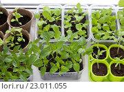 Купить «Много разной рассады овощей в пластиковых контейнерах на окне», фото № 23011055, снято 29 января 2020 г. (c) Галина Лукьяненко / Фотобанк Лори