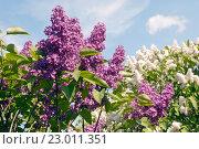 Ветки цветущей сирени на фоне голубого неба. Фокус на переднем плане. Стоковое фото, фотограф Svet / Фотобанк Лори