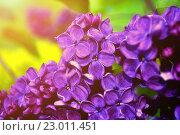 Купить «Цветы сирени крупным планом», фото № 23011451, снято 23 мая 2016 г. (c) Зезелина Марина / Фотобанк Лори