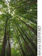 Высокие стройные деревья в лесу. Стоковое фото, фотограф Александр Степанов / Фотобанк Лори