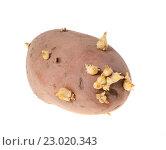 Купить «Прошлогодний картофель изолированно на белом фоне», фото № 23020343, снято 2 мая 2016 г. (c) Литвяк Игорь / Фотобанк Лори