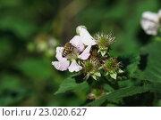 Купить «Пчела на цветке ежевики», фото № 23020627, снято 15 мая 2016 г. (c) Наталья Гармашева / Фотобанк Лори